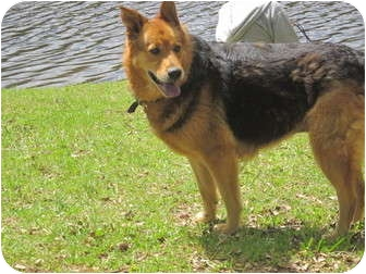 German Shepherd Dog/Golden Retriever Mix Dog for Sale in Wilmington, Delaware - Helen aka Stash