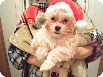Poodle (Toy or Tea Cup)/Maltese Mix Puppy for Sale in La Mirada, California - Perez