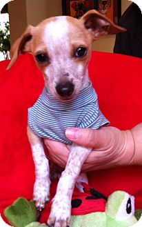 Rat Terrier Mix Puppy for Sale in San Diego, California - FRECKLES, 3 Lbs puppy!