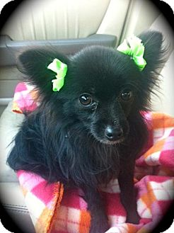 Pomeranian/Chihuahua Mix Dog for Sale in Brea, California - Little Bear