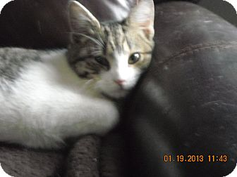 Domestic Shorthair Kitten for Sale in Riverside, Rhode Island - Sonny