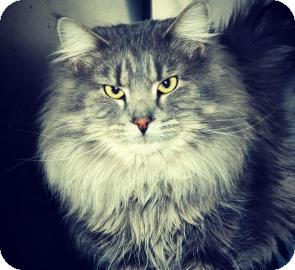 Maine Coon Cat for Sale in Cheyenne, Wyoming - Majestic