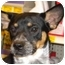 Photo 1 - Cattle Dog Mix Puppy for adoption in Fresno, California - Chelsea
