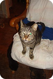 Domestic Shorthair Cat for adoption in Brooklyn, New York - Elvis