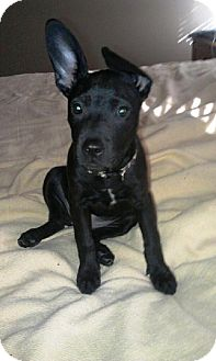 Labrador Retriever/Shepherd (Unknown Type) Mix Puppy for Sale in Youngstown, Ohio - Tootsie ~ Adoption Pending