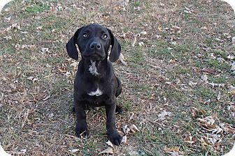 Labrador Retriever Mix Puppy for Sale in Bedford, Virginia - Bandit