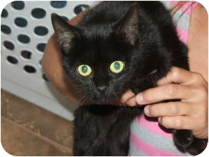 Bombay Kitten for Sale in Griffin, Georgia - Princess