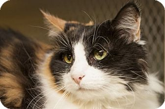 Domestic Longhair Cat for adoption in Lombard, Illinois - Courage