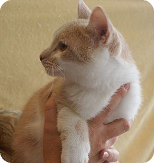 American Shorthair Cat for Sale in Hazard, Kentucky - Jo Jo