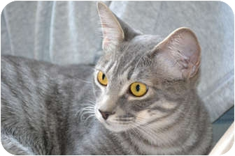 Domestic Shorthair Cat for Sale in Laguna Woods, California - Foxy
