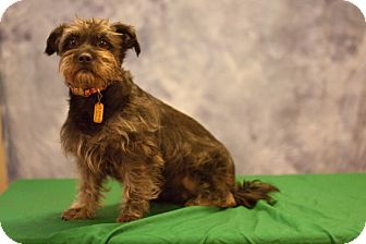 Terrier (Unknown Type, Small) Mix Dog for Sale in Sheridan, Oregon - Mona