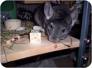 Chinchilla for Sale in Avondale, Louisiana - Layla