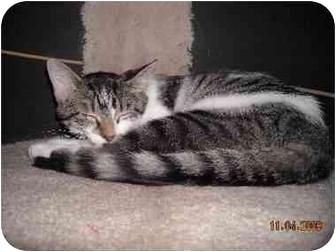 Domestic Shorthair Cat for adoption in Kenosha, Wisconsin - Sweden