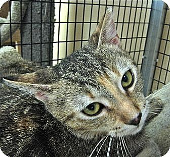 Domestic Shorthair Cat for adoption in Deerfield Beach, Florida - Penny