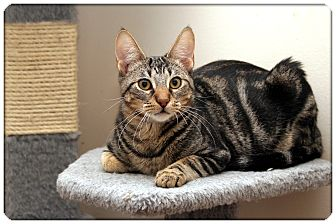 Domestic Shorthair Cat for Sale in Sterling Heights, Michigan - Newman - ADOPTED!