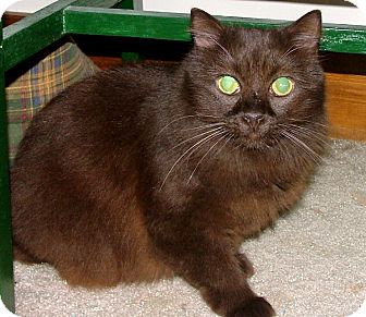 Havana Brown Cat for Sale in Chattanooga, Tennessee - Hershey
