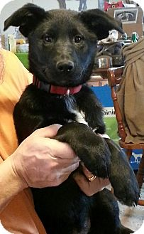 German Shepherd Dog/Labrador Retriever Mix Puppy for Sale in Nashville, Tennessee - Emma