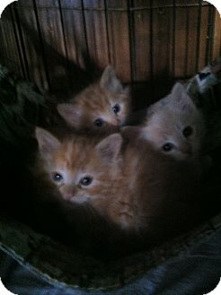 Domestic Mediumhair Kitten for Sale in Clay, New York - KITTEN'S
