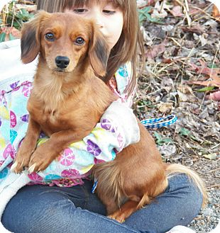 Dachshund Dog for Sale in Sussex, New Jersey - Munchkin