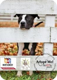 Pit Bull Terrier Mix Dog for adption in Kettering, Ohio - Snickers