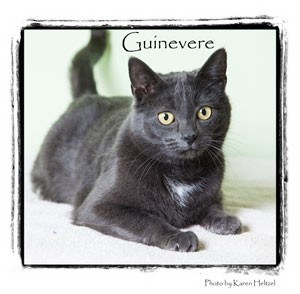 Domestic Shorthair Cat for Sale in Warren, Pennsylvania - Guinevere