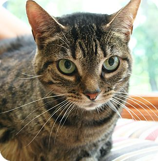 Domestic Shorthair Cat for adoption in Secaucus, New Jersey - Flo