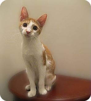 Domestic Shorthair Kitten for Sale in Richmond, Virginia - Passel of Kittens (Jaspurr)