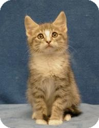 Domestic Mediumhair Cat for Sale in Sacramento, California - Tom