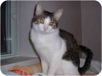 Domestic Shorthair Cat for adoption in Lethbridge, Alberta - Thumper