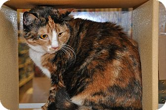 Calico Cat for Sale in Temple, Pennsylvania - Carmella