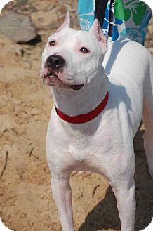 Dogo Argentino/American Pit Bull Terrier Mix Dog for adption in Knoxville, Tennessee - Georgia