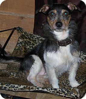 Jack Russell Terrier Mix Dog for Sale in Niagra Falls, New York - JR $50.00 Off Adopt Fee
