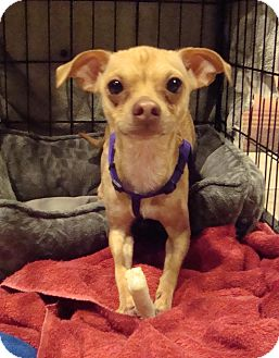 Chihuahua Dog for adption in Romeoville, Illinois - Speedy