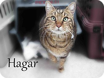 American Shorthair Cat for Sale in Hamilton, Montana - Hagar