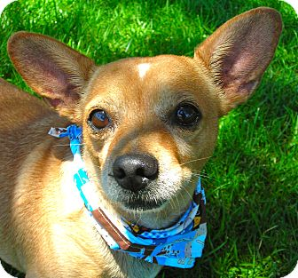 Chihuahua Dog for Sale in El Cajon, California - Pancho