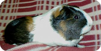 Guinea Pig for adoption in Steger, Illinois - Tiana