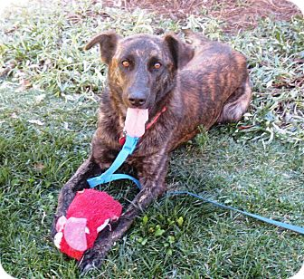 Dutch Shepherd/Labrador Retriever Mix Dog for Sale in Torrance, California - KATIE