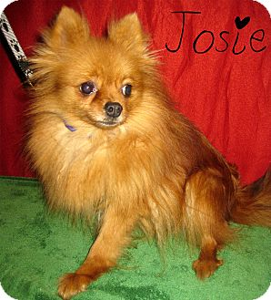 Pomeranian Dog for Sale in Prole, Iowa - Josie