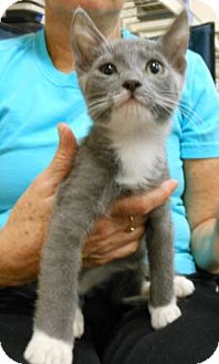 Domestic Shorthair Kitten for Sale in Sterling, Virginia - Princey