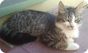 Domestic Mediumhair Cat for adoption in Maitland, Florida - Mr. Fluffy