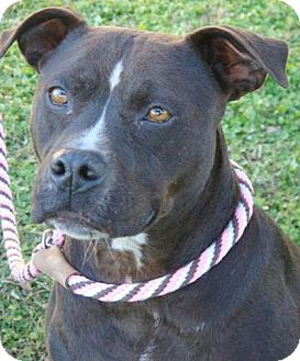 American Pit Bull Terrier Mix Dog for Sale in Red Bluff, California - Suzie Q- $45 Adoption Fee!!