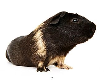 Guinea Pig for Sale in New York, New York - Sam