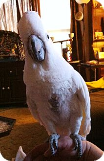 Cockatoo for adoption in Shawnee Mission, Kansas - Missy