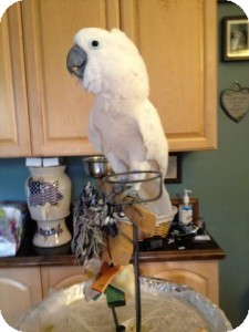 Cockatoo for Sale in Tampa, Florida - Mr. Too