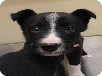 Border Collie Mix Puppy for Sale in Ogden, Utah - Rob
