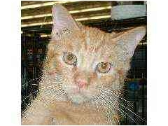 Domestic Shorthair Cat for adoption in Dallas, Texas - Romeo