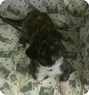 Boston Terrier/Lhasa Apso Mix Dog for Sale in Ridgely, Maryland - Rocky