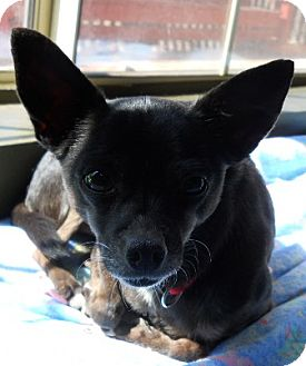Chihuahua Dog for adption in dewey, Arizona - Evie
