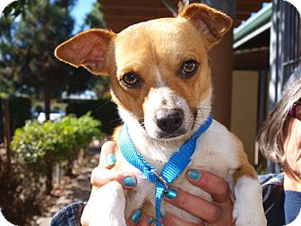 Chihuahua/Jack Russell Terrier Mix Dog for Sale in Chula Vista, California - Chester