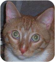 Domestic Shorthair Cat for adoption in Andover, Kansas - Chody